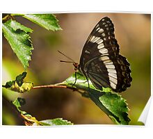Weidemeyer's Admiral Butterfly Poster