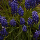 Grape Hyacinth by Steph Peesker
