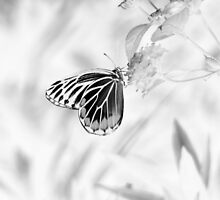 Beautiful Butterfly on flower - Black and White by Nhan Ngo
