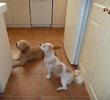 BUDDY AND TOBY WAITING FOR A TREAT  by joycee