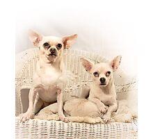 Chihuahua Gothic Photographic Print