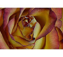 Rose on its last leg Photographic Print