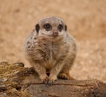 It's a Big World For a Small Meerkat by theBFG