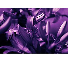Lilies in Violet Limbo Photographic Print