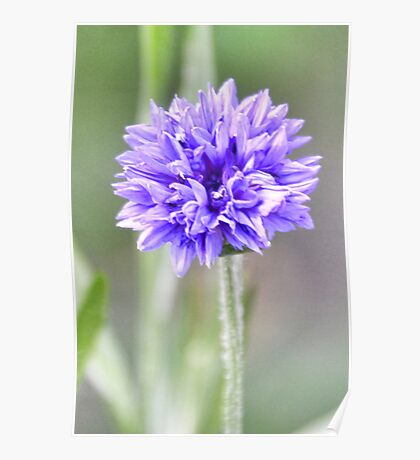 Tall And Proud  Cornflower Poster