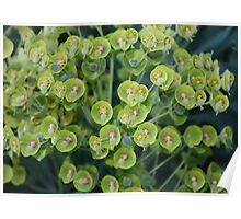 Euphorbia Family Poster