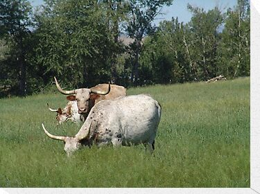 LONGHORNS  by May Lattanzio