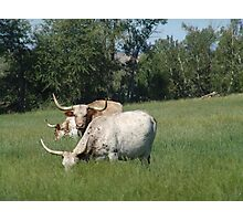 LONGHORNS  Photographic Print