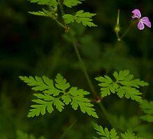 Geranium Robertianum by Jim Adams