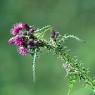 Marsh Thistle by Margaret S Sweeny