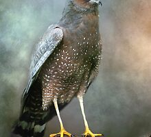 Spotted harrier by Jan Pudney