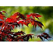 Red Leaves Photographic Print