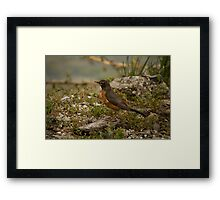 Young Robin 2 Framed Print