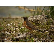 Young Robin 2 Photographic Print