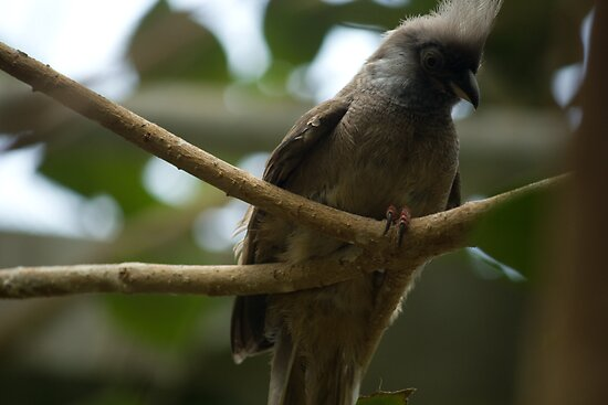 Speckled Mousebird by njumer