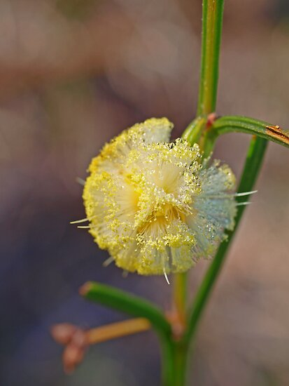 Acacia stenoptera - Narrow Winged Wattle by kalaryder