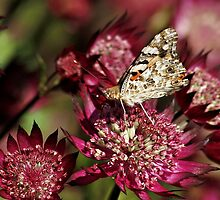 Butterfly on Astrantia Major in NESS GARDENS,  Cheshire by AnnDixon