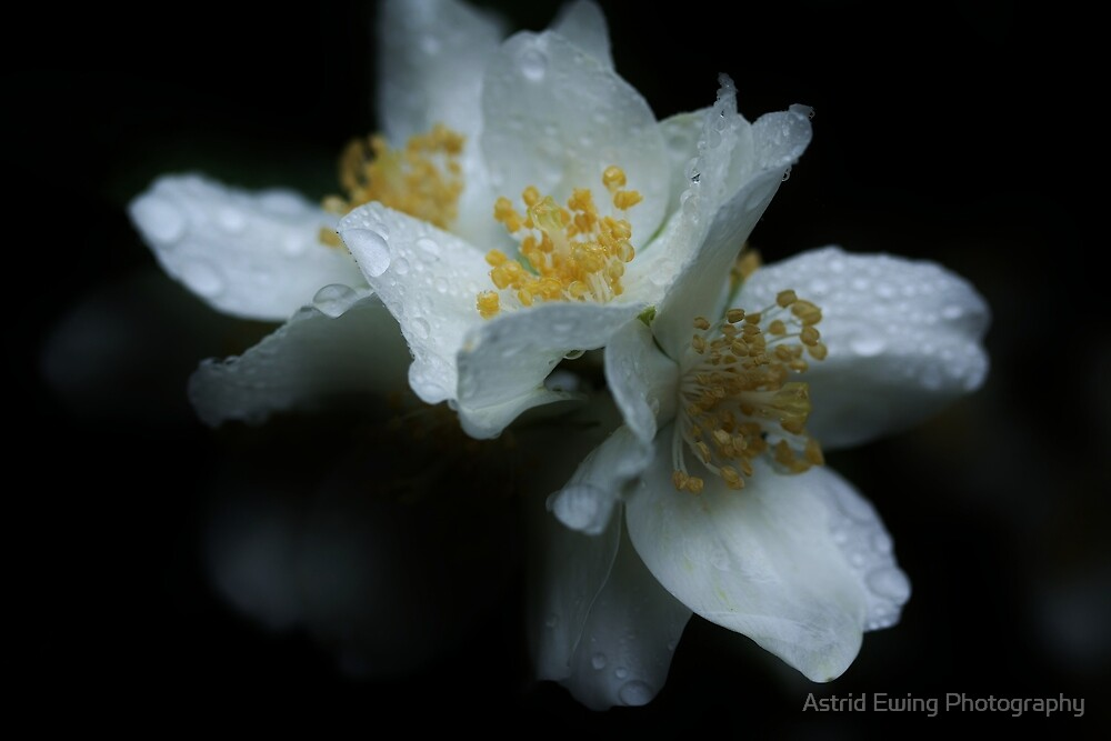 Mock Orange in the Rain by Astrid Ewing Photography