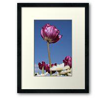 Purple Tulip Framed Print