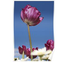 Purple Tulip Poster
