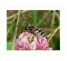 A Hoverfly on Red Clover Art Print