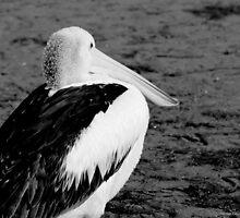 pelican 002 by Karl David Hill