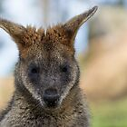 Wallaroo by Daniel Rankmore