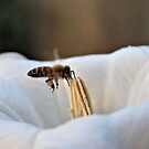 Bee in the Moonflower by aprilann