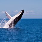 Humpback Whale Breaching off Hervey Bay by Jaxybelle
