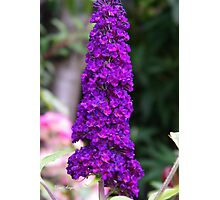 Black Knight .. purple buddleia  Photographic Print