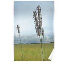 Timothy grass - Tall! Poster