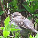 Female House Sparrow In Rain by ArtOfE