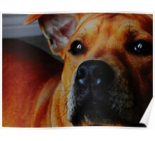 Staffordshire Bull Terrier. Poster