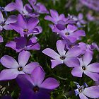 Spreading Phlox - Phlox diffusa by Digitalbcon