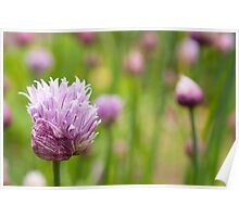 Chive flowers Poster