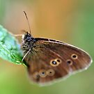 Ringlet butterfly by Russell Couch