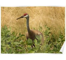 Sandhill Crane Skirted in Green Leaf Poster