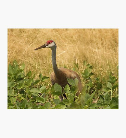 Sandhill Crane Skirted in Green Leaf Photographic Print