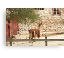 Llama in Courtyard Canvas Print