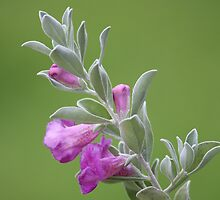 Texas Sage by Bob Hardy