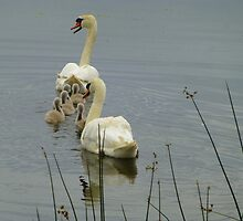 Swans And Cygnets by Fara
