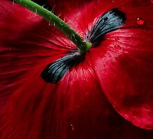 Papaver passion by Mandy Disher