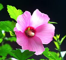 Rose Of Sharon by James Brotherton