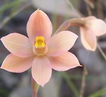 Fishy orchid. Salmon Sun Orchid - Thelymitra rubra by Lydia Heap