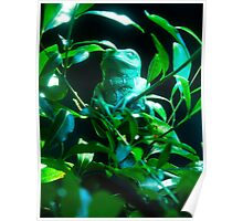 Waxy Tree Frog Poster