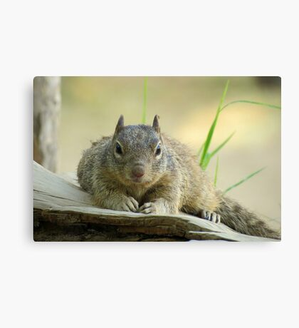 Rock Squirrel ~ Now tell me why your Nuts....... Canvas Print