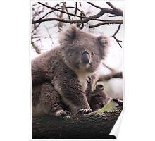 Koala Baby Poster