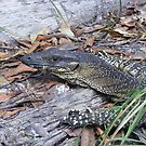 Lace in the bush. Lace Monitor - Varanus varius by Lydia Heap