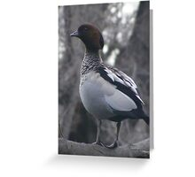 Mr Duck. Male Maned (Wood) Duck - Chenonetta jubata Greeting Card