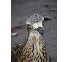 What are you looking at? Bush Thick-knee - Burhinus magnirostris Photographic Print